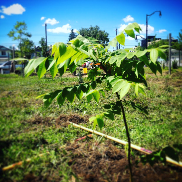 A young butternut tree (aka white walnut) planted in the Operation Fruit Rescue Edmonton Mini Orchard. Searchable on Edmonton's Edible Tree Map.